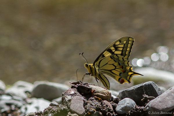 Machaon (Papilio machaon) (Col d'Aubisque, Béost (64), France, le 29/06/2019)
