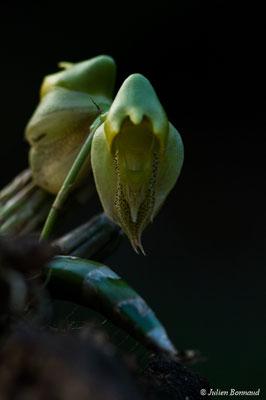 Catasetum macrocarpum (Montsinéry, le 16/06/2017)