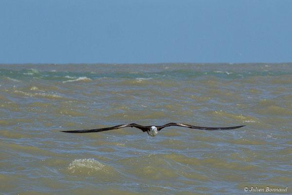 Frégate superbe (Fregata magnificens) (immature) (Île du Grand Connétable, le 09/08/2017)