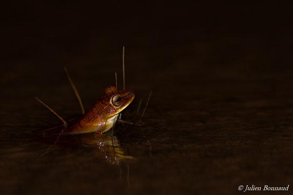 Rainette à bandes (Hypsiboas multifasciatus) (Centre Spatial Guyanais, Kourou, le 08/03/2017)