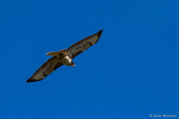 Buse variable (Buteo buteo) (Ponson-Dessus (64), France, le 18/03/2018)