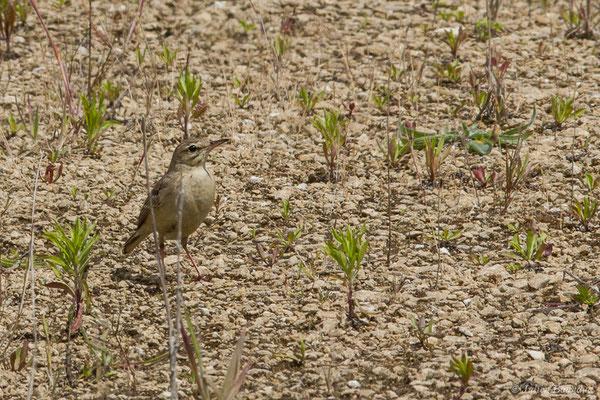 Pipit rousseline (Anthus campestris) (La Brède (33), France, le 12/06/2019)