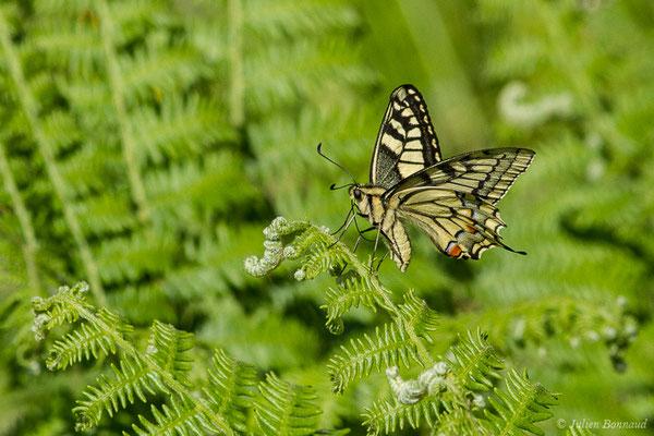 Machaon (Papilio machaon) (Etsaut (64), France, le 29/06/2019)