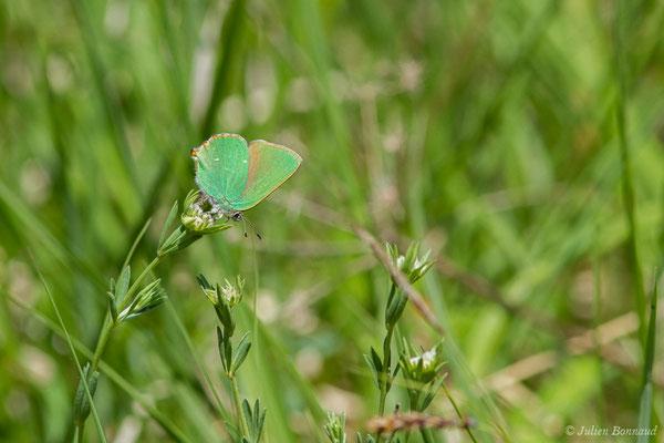 Thècle de la ronce ou Argus vert (Callophrys rubi) (Pihourc, Saint-Gadens (31), France, le 21/05/2018)