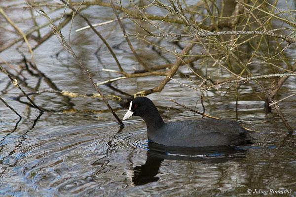 Foulque macroule – Fulica atra Linnaeus, 1758, (adulte) (réserve ornithologique du Teich (33), France, le 24/01/2018)