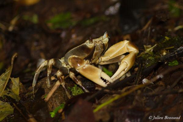 Crabe cirique de rivière (Guinotia dentata)