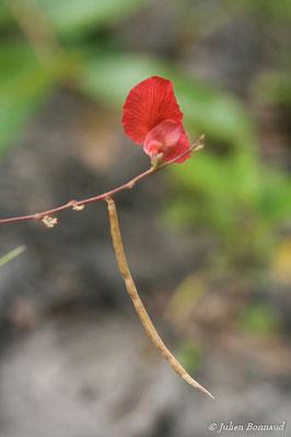Macroptilium gracile (Centre Spatial Guyanais, Kourou, le 12/05/2014)