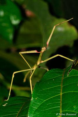 (Phantasca sp. x) (femelle juvénile indéterminée) (Montagne de Kaw, le 07/08/2015)
