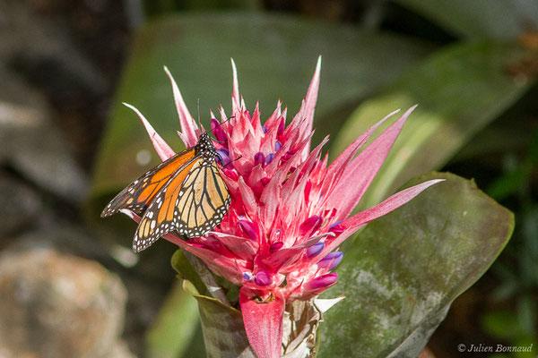 Monarque ou Monarque américain (Danaus plexippus) (Tarifa (Andalousie), le 02/08/2020)