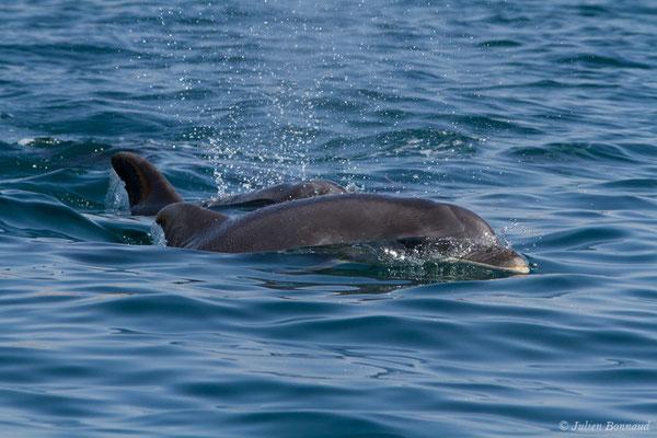 Grand dauphin commun ou Grand Dauphin – Tursiops truncatus (Montagu, 1821), (Sagres (Vila do Bispo), Algarve (Portugal), le 31/08/2018)