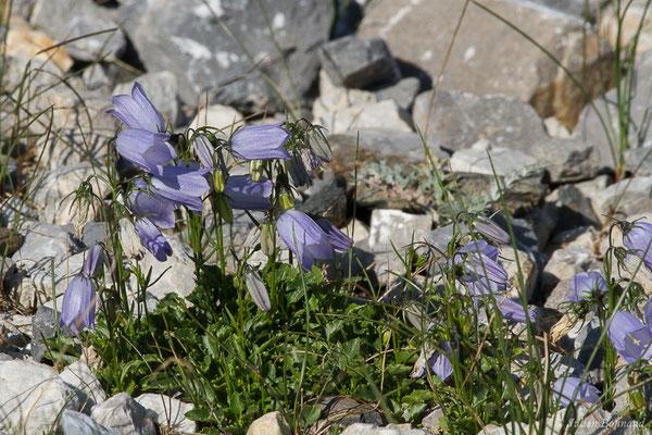 Campanule à feuilles de cochléaire ou Campanule à feuilles de Raifort (Campanula cochleariifolia) (Station de ski de Gourette, Eaux Bonnes (65), France, le 29/07/2020)