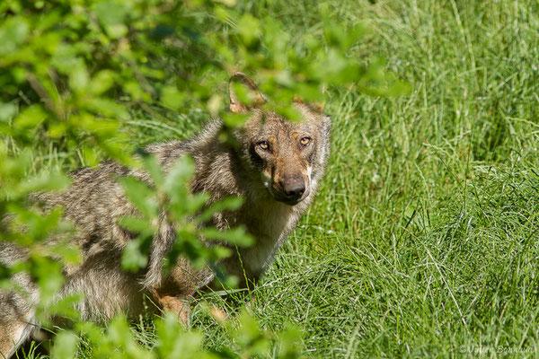 Loup gris – Canis lupus Linnaeus, 1758, (adulte), (Zoodycée, Chizé (79), France, le 12/06/2021)