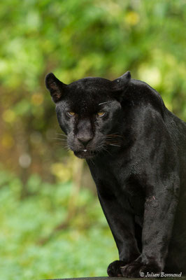 Jaguar (Panthera onca) (forme mélanique) (Zoo de Guyane, le 24/07/2017)