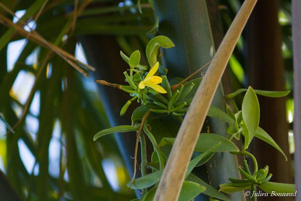 Vanilla palmarum (Centre Kalawachi, Kourou, le 06/12/2016)