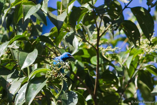 Dacnis bleu (Dacnis cayana) (mâle adulte) (mâle adulte) (Gallion, le 07/06/2014)