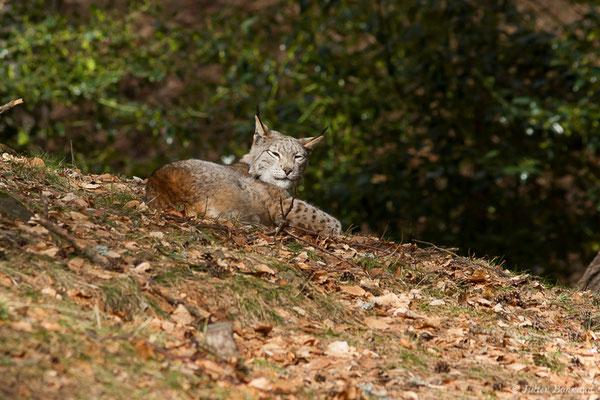 Lynx boréal – Lynx lynx (Linnaeus, 1758), (Parc faunistique Lacuniacha, Huesca, Espagne, le 09/02/2020)