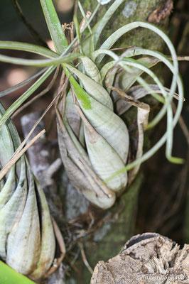 Tillandsia flexuosa (Centre Spatial Guyanais, Kourou, le 26/04/2015)