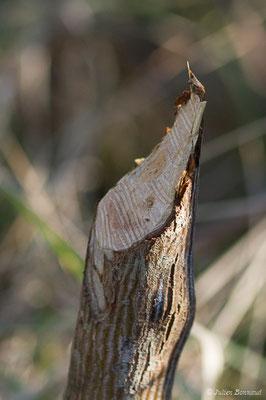Castor d'Europe – Castor fiber Linnaeus, 1758, (Marais du Vigueirat (13), France, le 19/02/2020)