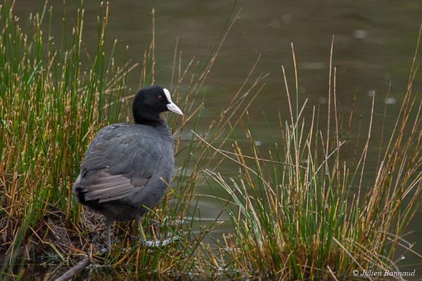 Foulque macroule – Fulica atra Linnaeus, 1758, (adulte) (réserve ornithologique du Teich (33), France, le 23/01/2018)