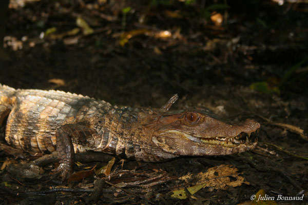 Caïman rouge (Paleosuchus palpebrosus) (1,03 m) (Marais Vidal, le 10/04/2015) capturé dans une nasse en forêt marécageuse.