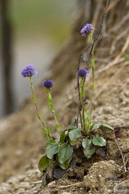 Globulaire commune (Globularia vulgaris) (Aulon (31), France, le 03/05/2019)