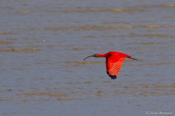 Ibis rouge (Eudocimus ruber) (Dégrad des Cannes, Remire-Montjoly, le 16/04/2017)
