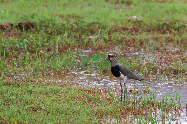 Vanneau téro (Vanellus chilensis) (adulte) (Cayenne, le 12/04/2016)
