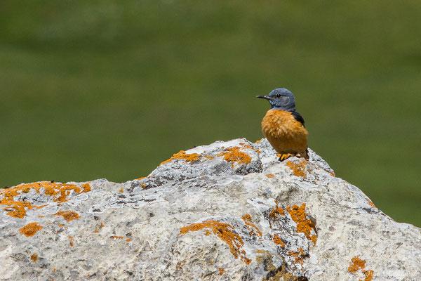 Monticole de roche (Monticola saxatilis) (mâle adulte) (Col du Pourtalet, Laruns (64), France, le 22/06/2019)
