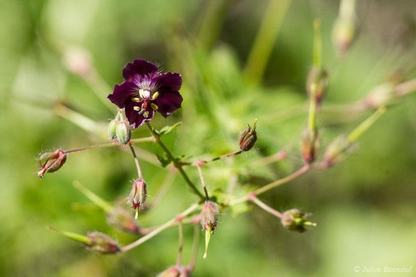 Géranium brun (Geranium phaeum) (Sers (65), France, le 23/06/2020)