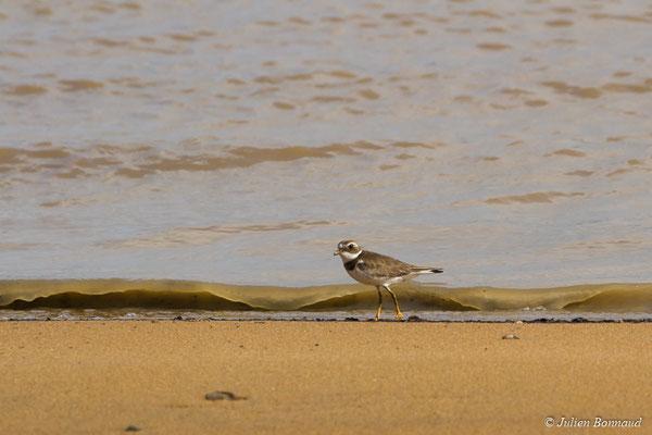 Pluvier semipalmé (Charadrius semipalmatus) (adulte, plumage internuptial) (Dégrad des Cannes, Remire-Montjoly, le 15/04/2017)