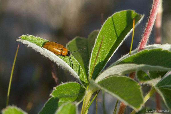 Lupérus portugais (Exosoma lusitanicum) (Station de ski de Gourette, Eaux Bonnes (65), France, le 29/07/2020)