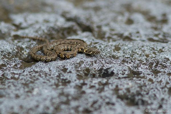 Couleuvre vipérine (Natrix maura) (juvénile) (Gave de Pau, Denguin (64), France, le 28/05/2019)