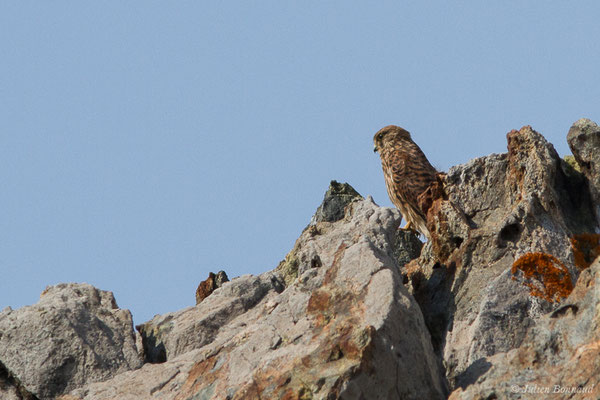 Faucon crécerelle (Falco tinnunculus) (Ajaccio (2A), France, le 01/09/2019)