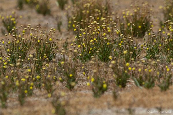 Cotule pied-de-corbeau (Cotula coronopifolia) (Braud-et-Saint-Louis (33), France, le 04/07/2018)