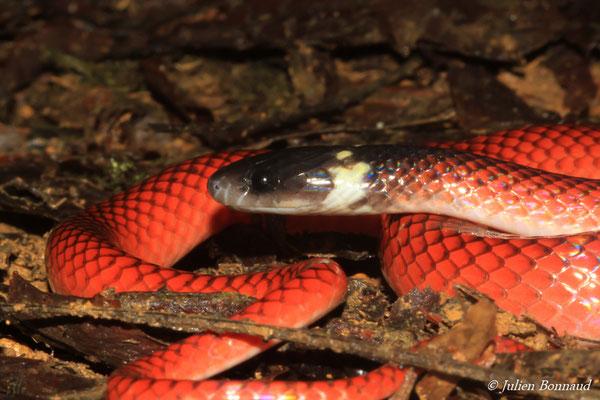 Couresse rouge (Drepanoides anomalus) (adulte) (Massif du Dékou-Dékou, le 29/02/2016)