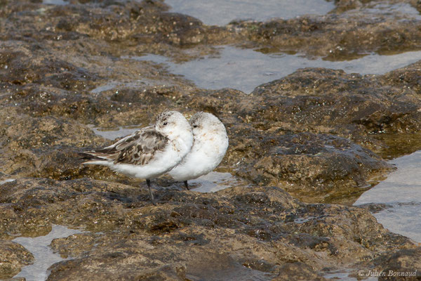 Bécasseau sanderling (Calidris alba) (Lisbonne, Portugal, le 27/08/2018)