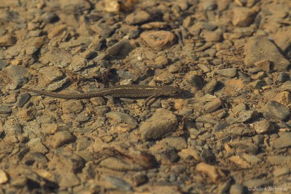 Calotriton des Pyrénées ou Euprocte des Pyrénées – Calotriton asper (Al. Dugès, 1852), (mâle adulte) (Col d'Aubisque, Béost (64), France, le 29/06/2019)