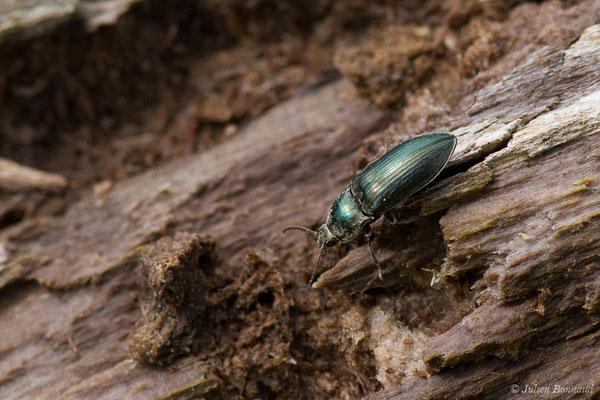 Sélatosome bronzé (Selatosomus aeneus) (Pierrefitte-Nestalas (65), France, le 20/05/2019)