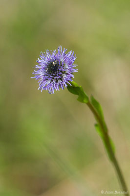 Globulaire commune (Globularia vulgaris) (Pihourc, Saint-Godens (31), France, le 21/05/2018)