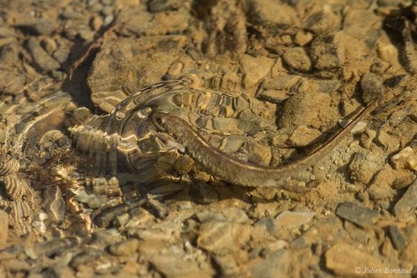 Calotriton des Pyrénées, Euprocte des Pyrénées (Calotriton asper) (mâle adulte) (Col d'Aubisque, Béost (64), France, le 29/06/2019)