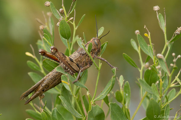 Criquet migrateur (Locusta migratoria) (Bidart (64), France, le 09/11/2018)