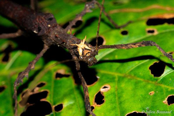 (Creoxylus spinosus) (mâle adulte) (route de Kaw, Roura, le 05/12/2014)