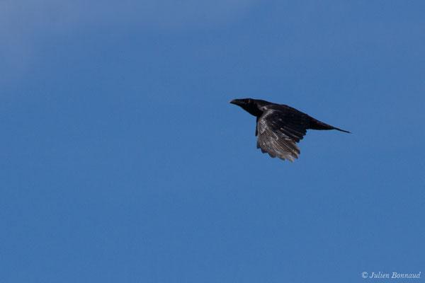 Grand Corbeau (Corvus corax) (Pihourc, Lieoux (31), France, le 21/05/2018)