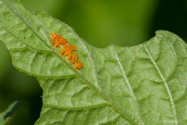 Doryphore (Leptinotarsa decemlineata) (Parbayse (64), France, le 31/05/2019)