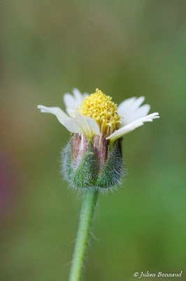 Tridax procumbens (Remire-Montjoly, le 22/08/2014)