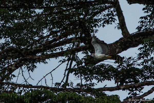 Harpie huppée (Morphnus guianensis) (sub-adulte, forme claire) (carrière du Galion, Roura, le 31/05/2017)