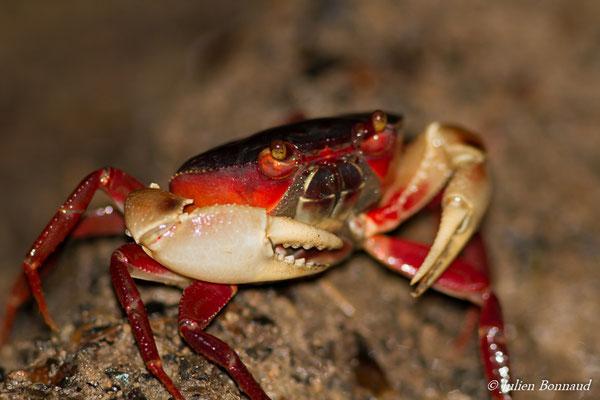 Crabe de forêt (Kingsleya latifrons) (Saint-Pierre, Saint-Laurent-du-Maroni, le 29/01/2017)