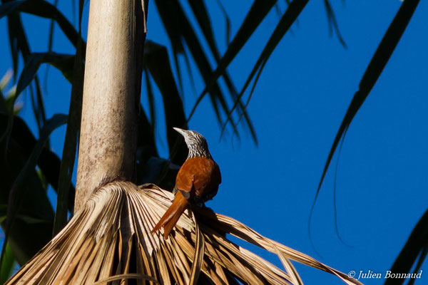 Anabate des palmiers (Berlepschia rikeri) (adulte) (Mana, le 19/08/2016)