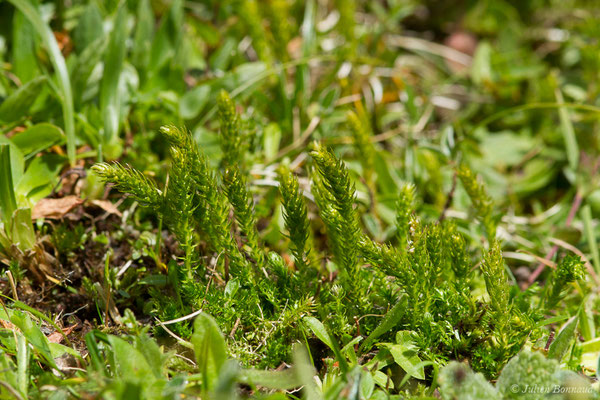 Sélaginelle épineuse – Selaginella selaginoides (L.) P.Beauv. ex Schrank & Mart., 1829, (Station de ski de Gourette, Euax-Bonnes (64), France le 05/08/2021)