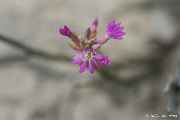 Polygala adenophora (Centre Spatial Guyanais, Kourou, le 12/05/2014)